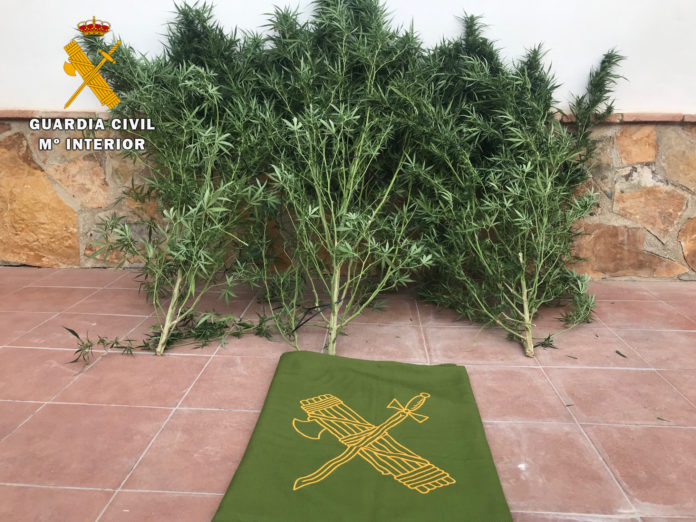 Una plantación de marihuana en La Rambla