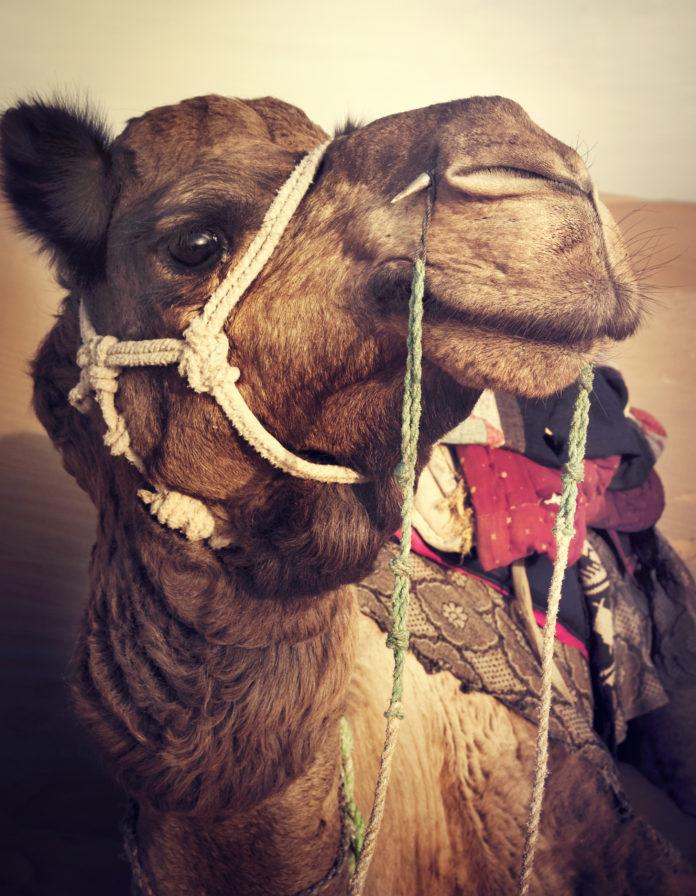 Uno de los camellos de los Reyes Magos