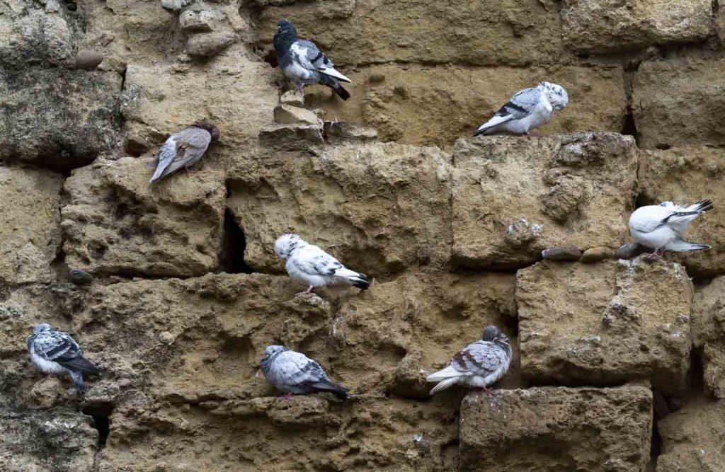 Palomas posadas en la muralla de la Puertade Amodovar. Foto: RAM