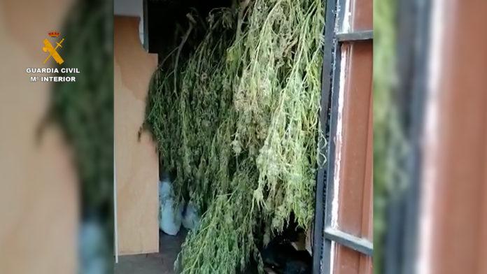 Cultivo marihuana