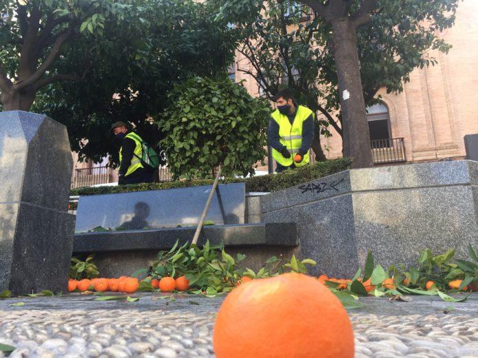 Fepamic continúa con la recogida de naranjas amargas en Córdoba