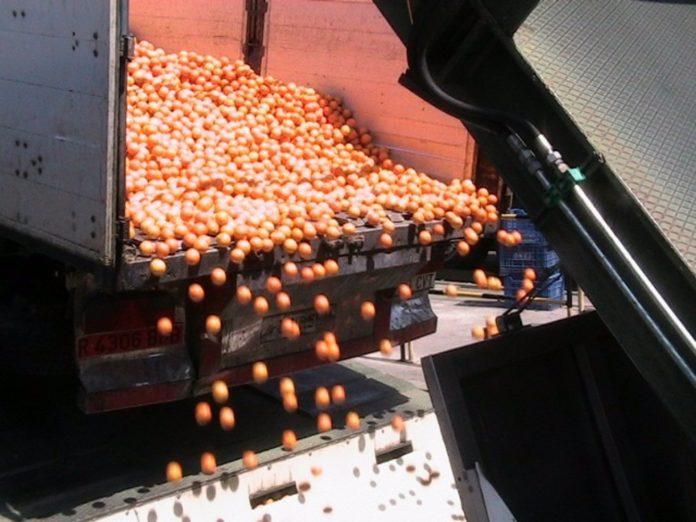 Descarga de naranjas en una planta de zumos cordobesa
