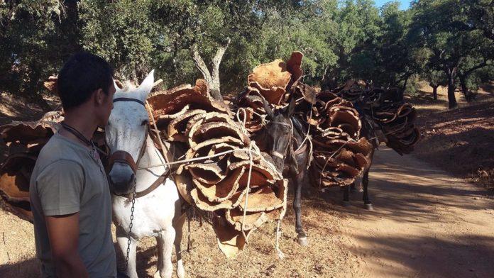 Paños de corcho transportados a lomos de mulos en Sierra Morena
