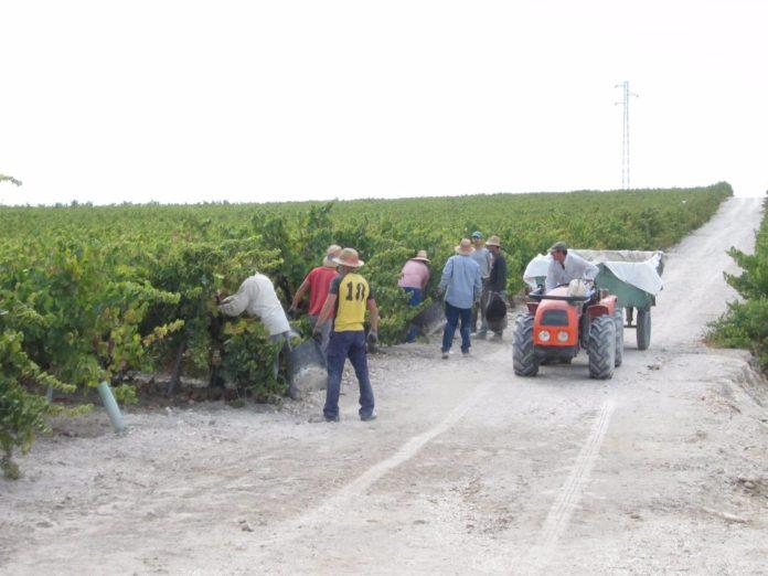 Vendimia en el marco vitivinícola de Montilla-Moriles
